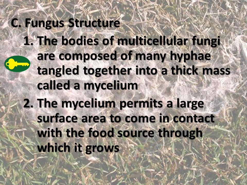 C. Fungus Structure The bodies of multicellular fungi are composed of many hyphae tangled together into a thick mass called a mycelium.