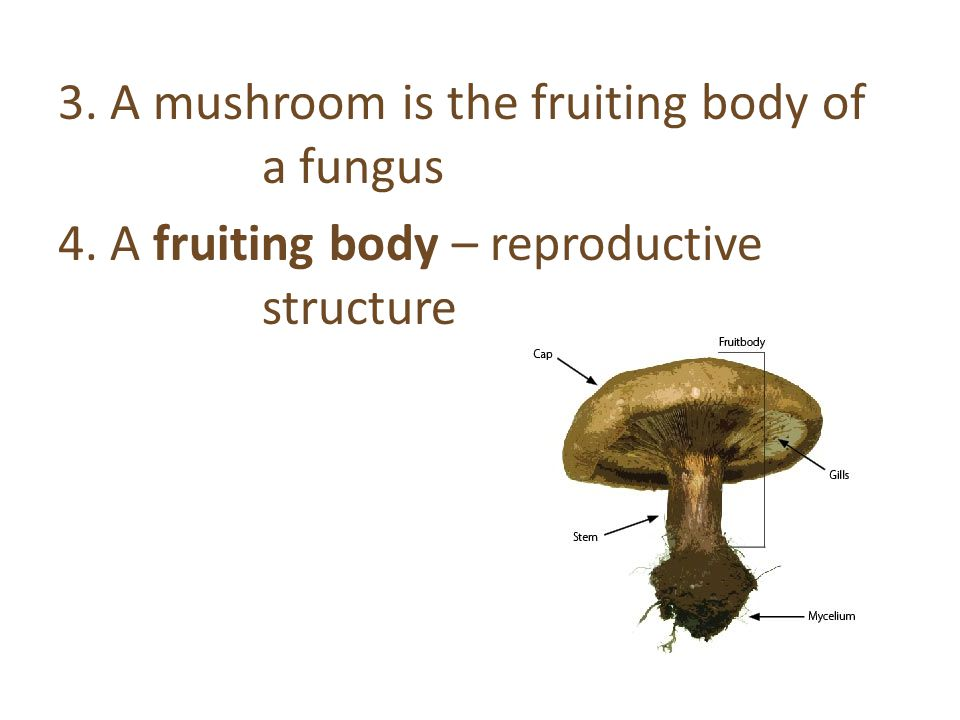 3. A mushroom is the fruiting body of a fungus