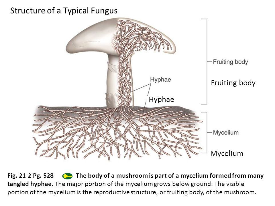 Structure of a Typical Fungus