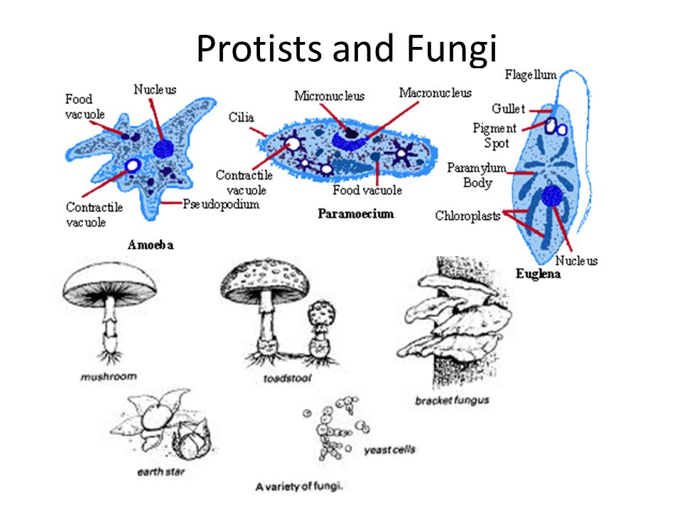 protists and fungi The kingdom protista was established in the 1860s as a place for the slime  molds that are plant‐like in forming spores in multinucleate, erect, sporangia and  ha.