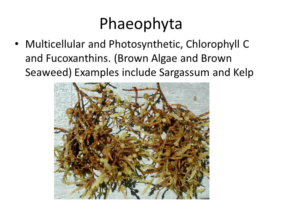 Phaeophyta Multicellular and Photosynthetic, Chlorophyll C and Fucoxanthins.