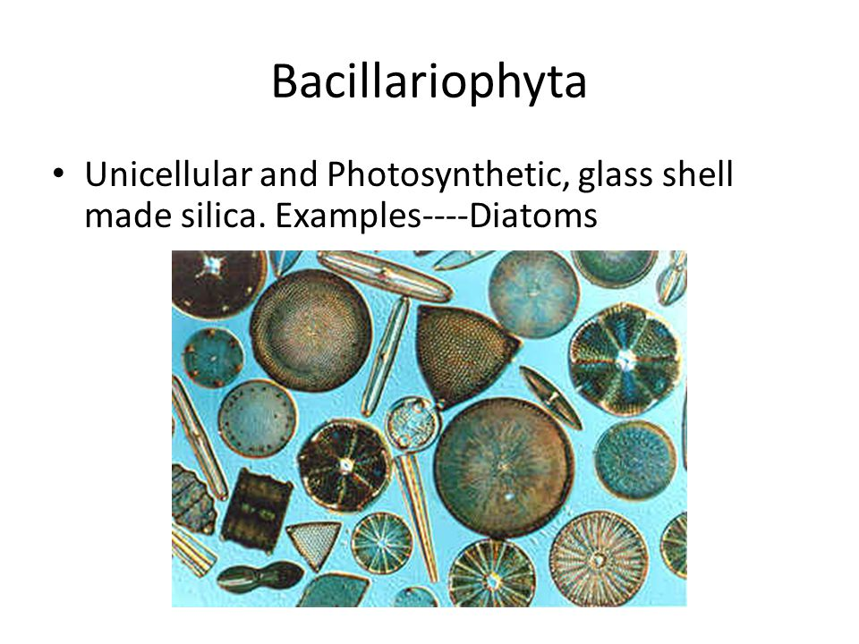 Bacillariophyta Unicellular and Photosynthetic, glass shell made silica. Examples----Diatoms
