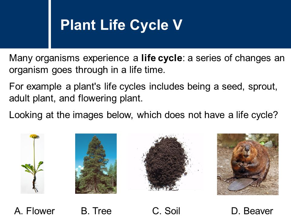 Plant Life Cycle V Many organisms experience a life cycle: a series of changes an organism goes through in a life time.