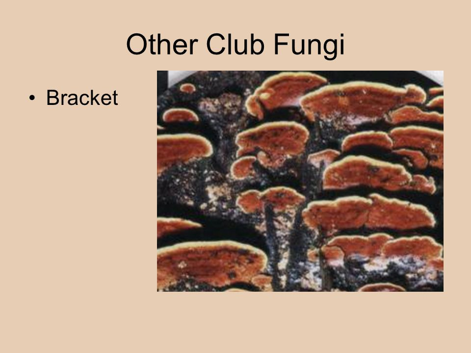 Other Club Fungi Bracket