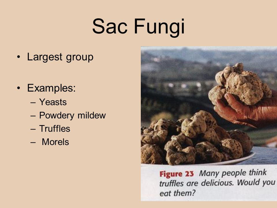 Sac Fungi Largest group Examples: Yeasts Powdery mildew Truffles