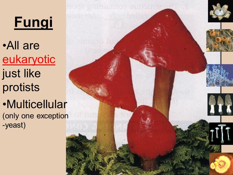 Fungi All are eukaryotic just like protists