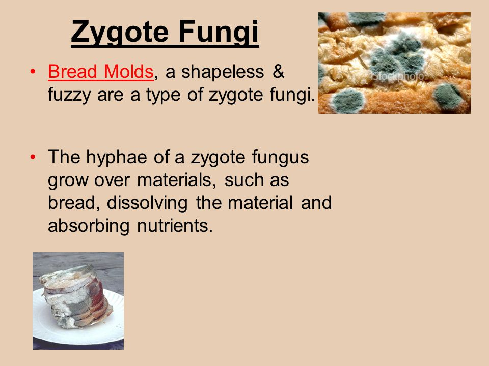 Zygote Fungi Bread Molds, a shapeless & fuzzy are a type of zygote fungi.