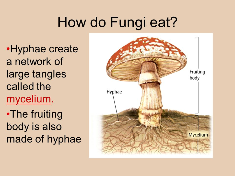 How do Fungi eat. Hyphae create a network of large tangles called the mycelium.