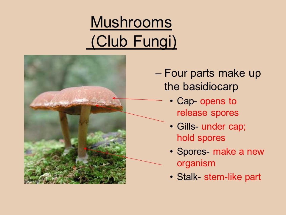 Mushrooms (Club Fungi)