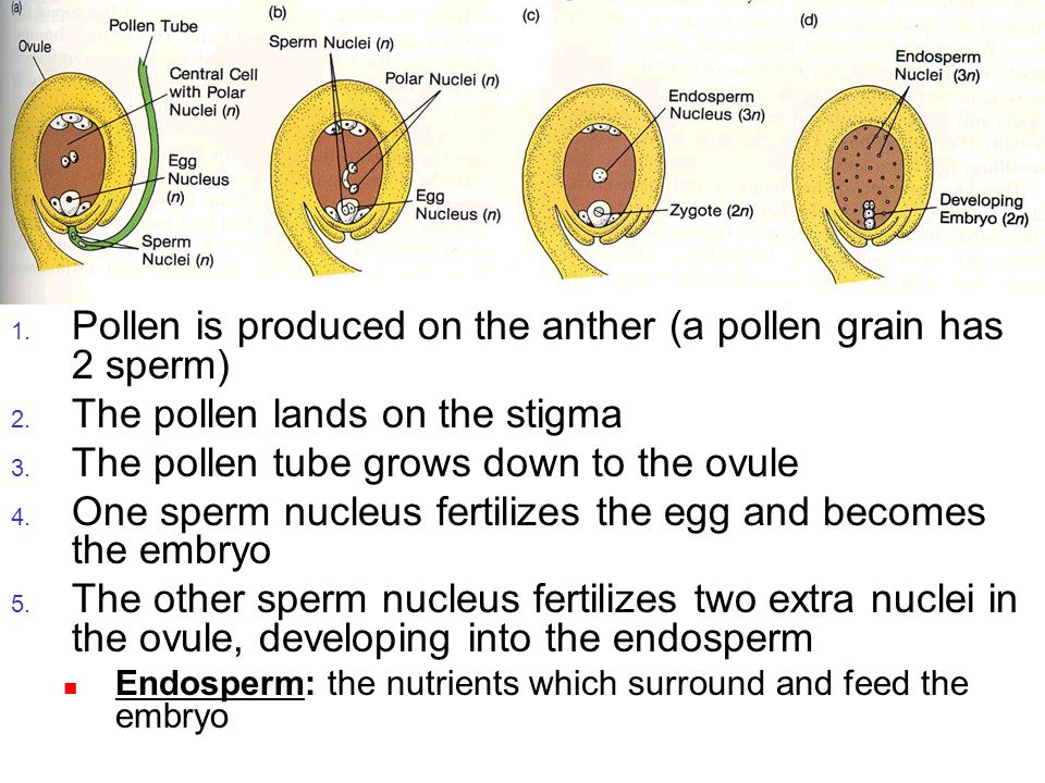 Pollination Pollen is produced on the anther (a pollen grain has 2 sperm) The pollen lands on the stigma.