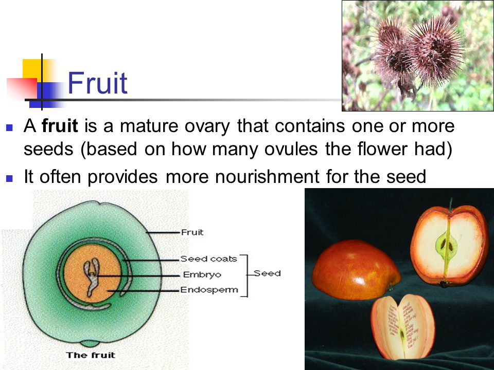 Fruit A fruit is a mature ovary that contains one or more seeds (based on how many ovules the flower had)
