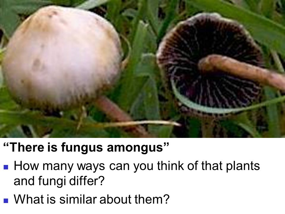 Bellringer There is fungus amongus