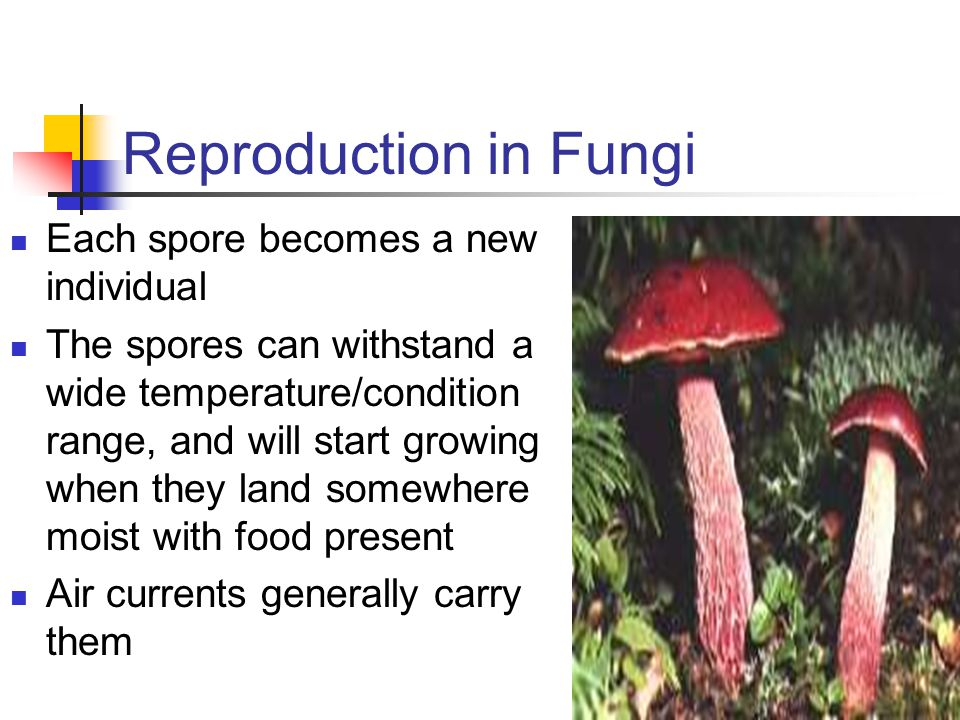 Reproduction in Fungi Each spore becomes a new individual
