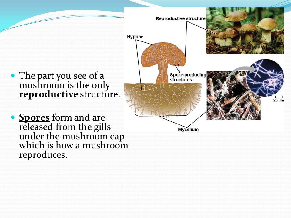 The part you see of a mushroom is the only reproductive structure.