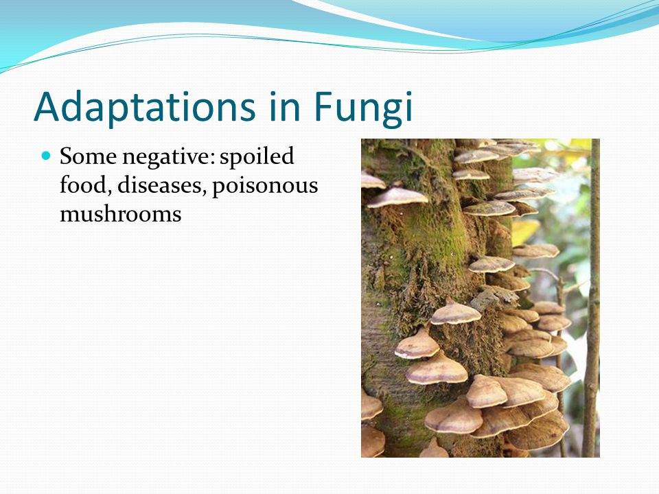 Adaptations in Fungi Some negative: spoiled food, diseases, poisonous mushrooms