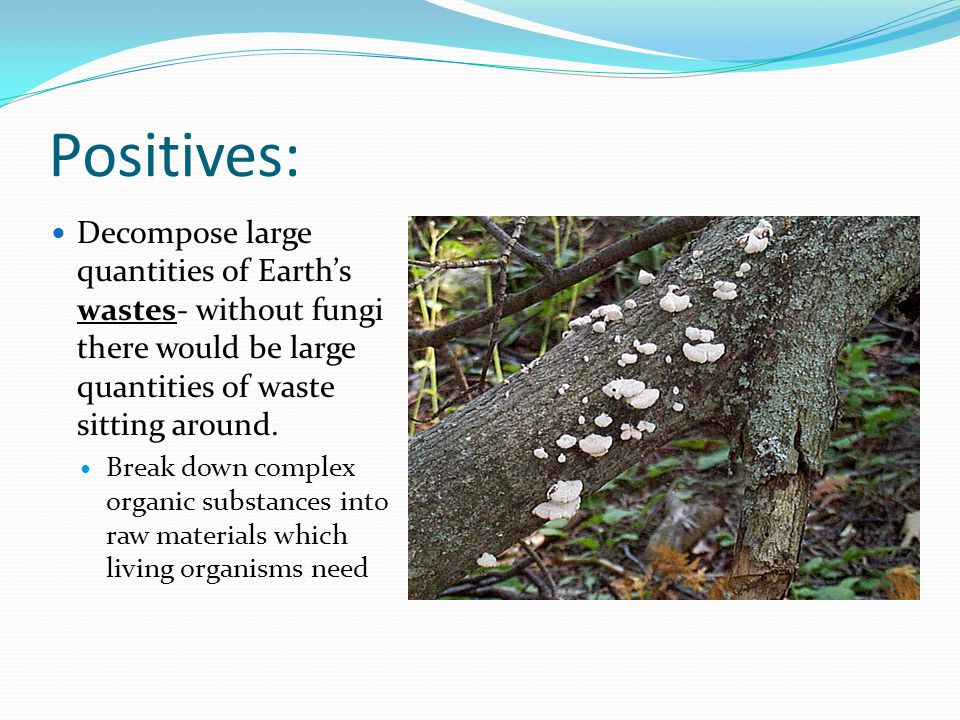 Positives: Decompose large quantities of Earth's wastes- without fungi there would be large quantities of waste sitting around.