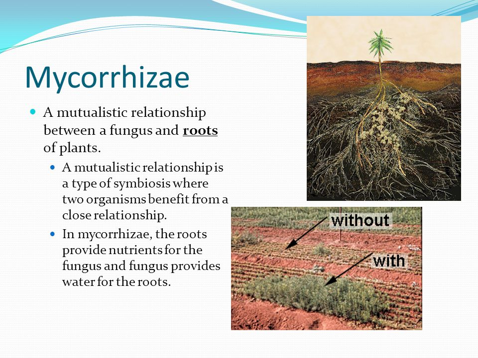 Mycorrhizae A mutualistic relationship between a fungus and roots of plants.