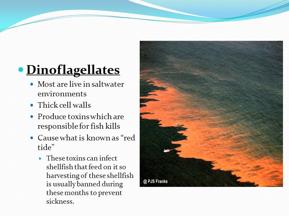 Dinoflagellates Most are live in saltwater environments