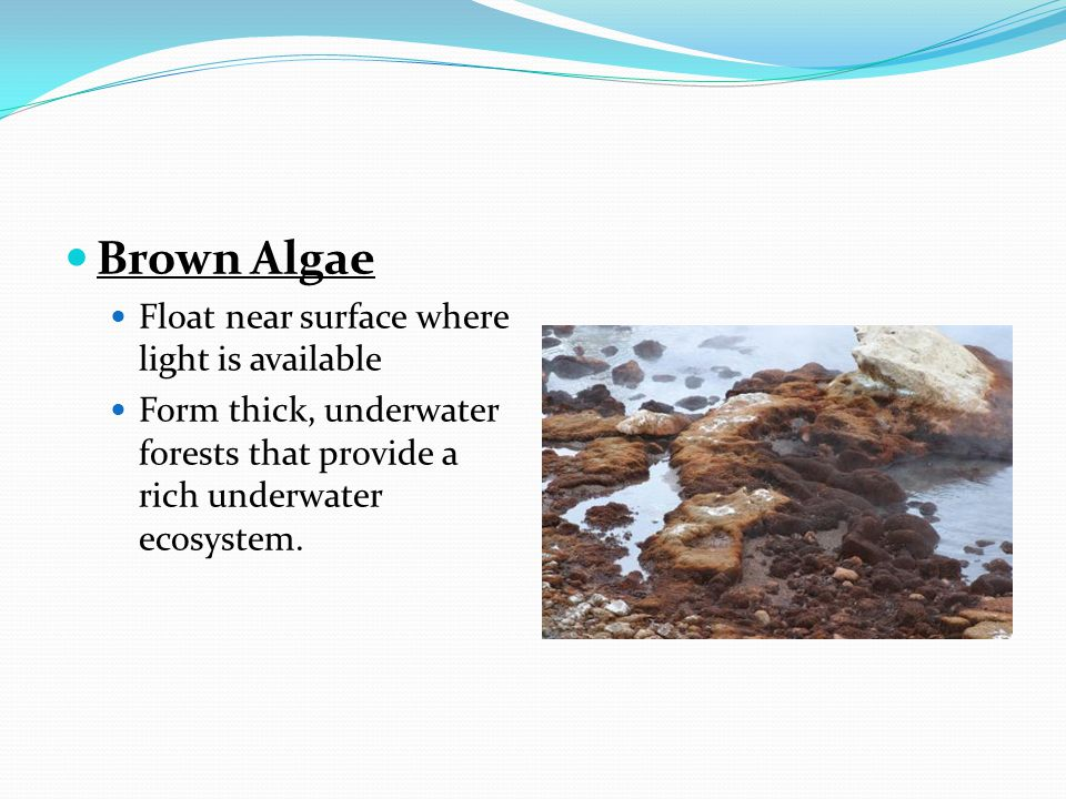 Brown Algae Float near surface where light is available