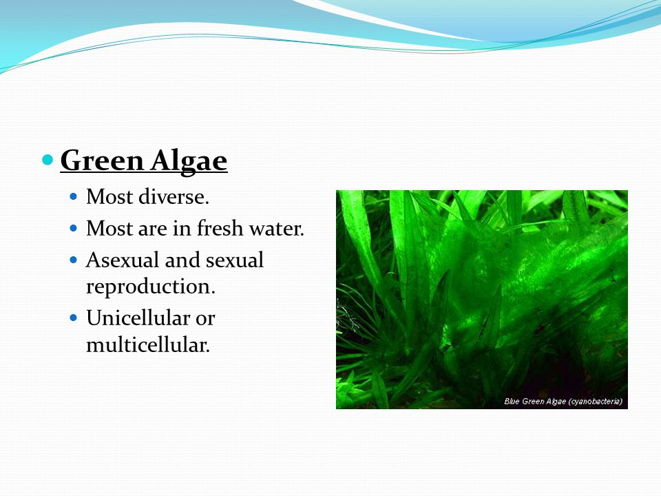 Green Algae Most diverse. Most are in fresh water.