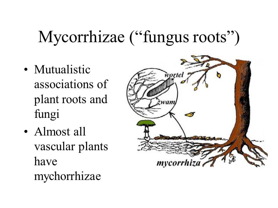 Mycorrhizae ( fungus roots )