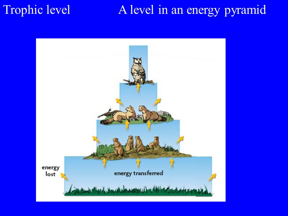 Trophic level A level in an energy pyramid