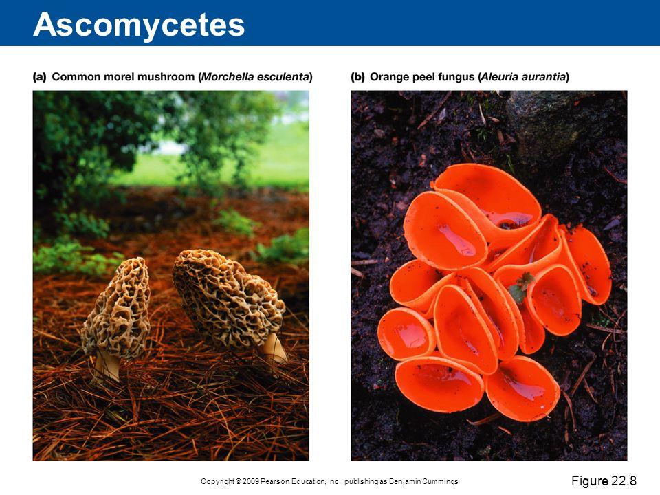 Ascomycetes Figure 22.8