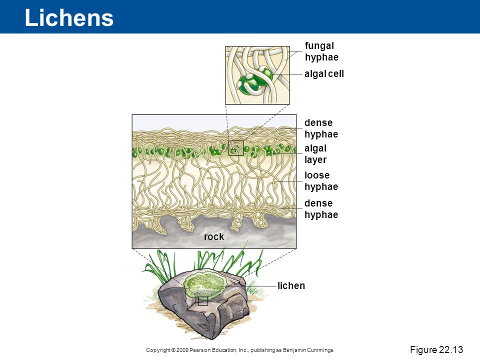 Lichens fungal hyphae algal cell dense hyphae algal layer loose hyphae