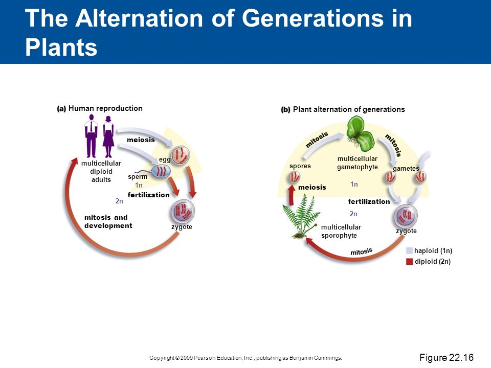 The Alternation of Generations in Plants