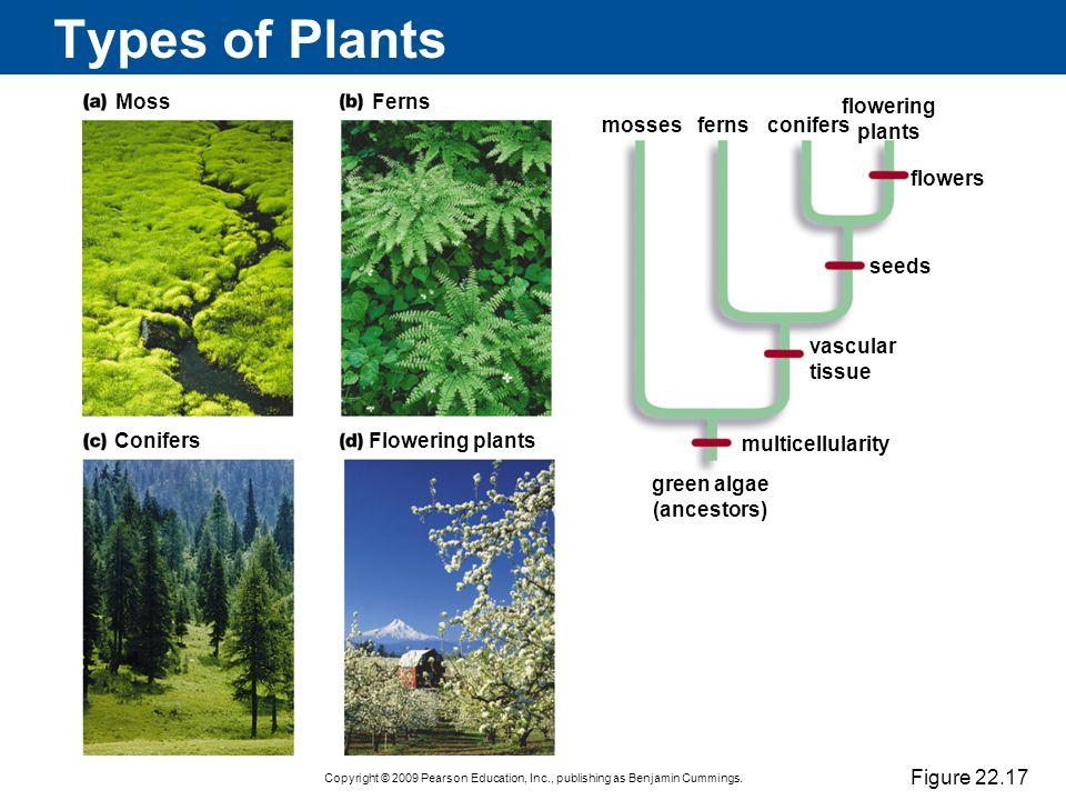 green algae (ancestors)