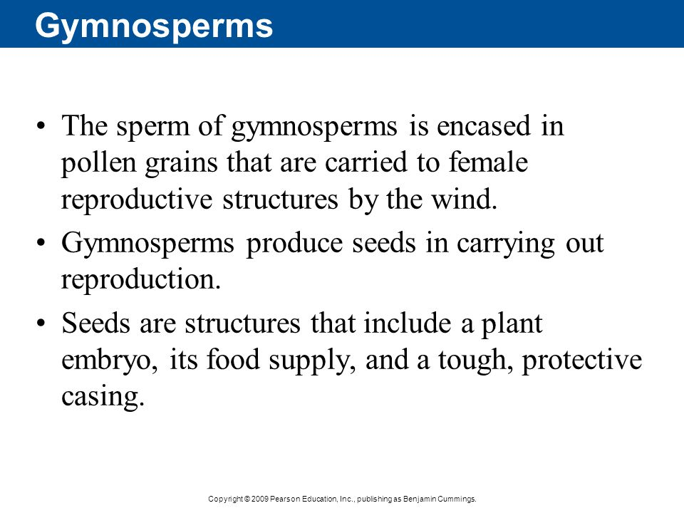 Gymnosperms The sperm of gymnosperms is encased in pollen grains that are carried to female reproductive structures by the wind.