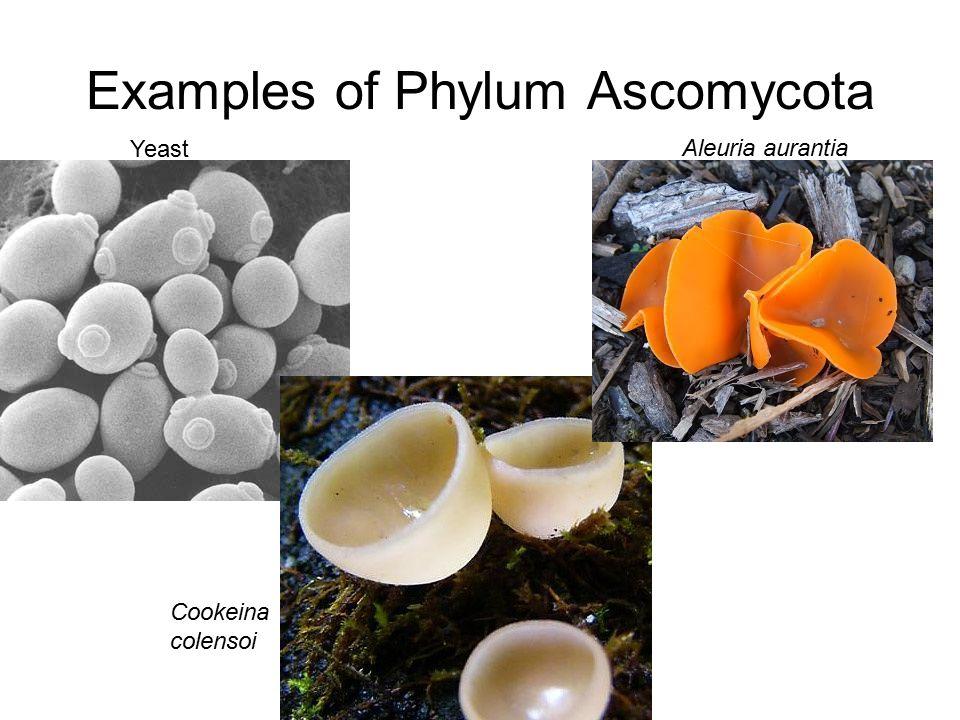 Examples of Phylum Ascomycota