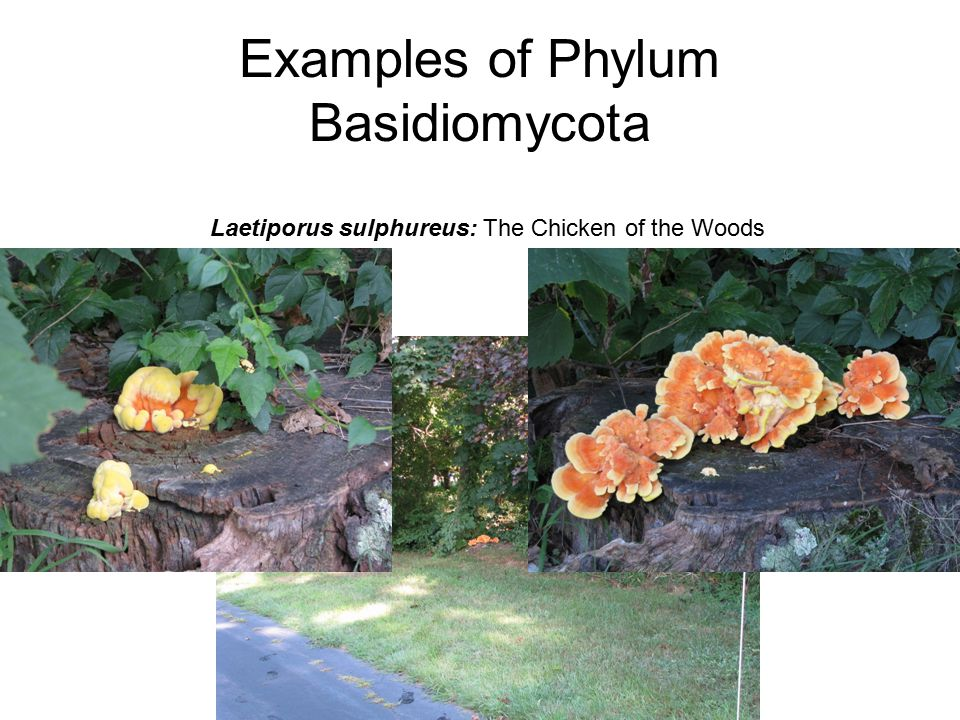 Examples of Phylum Basidiomycota