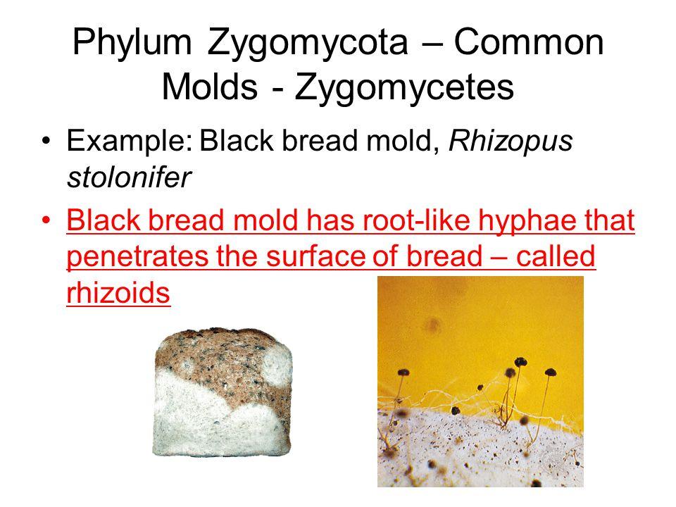 Phylum Zygomycota – Common Molds - Zygomycetes