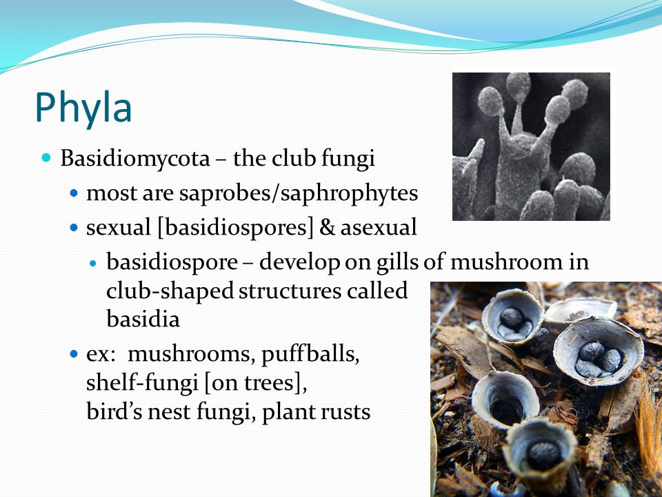 Phyla Basidiomycota – the club fungi most are saprobes/saphrophytes