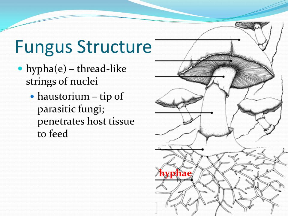 Fungus Structure hypha(e) – thread-like strings of nuclei