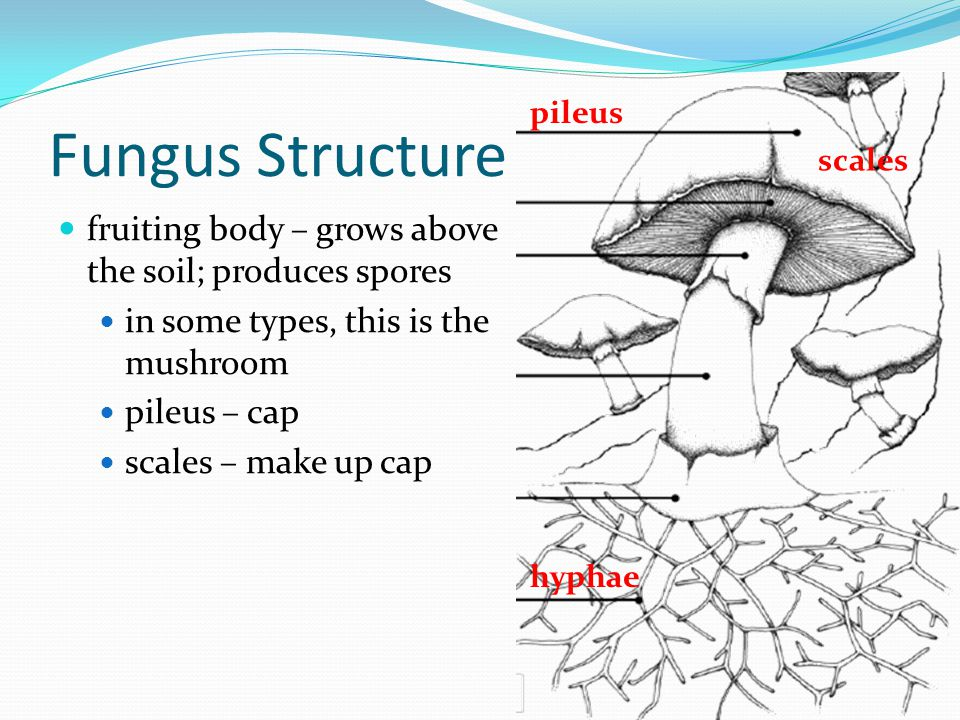 Fungus Structure fruiting body – grows above the soil; produces spores