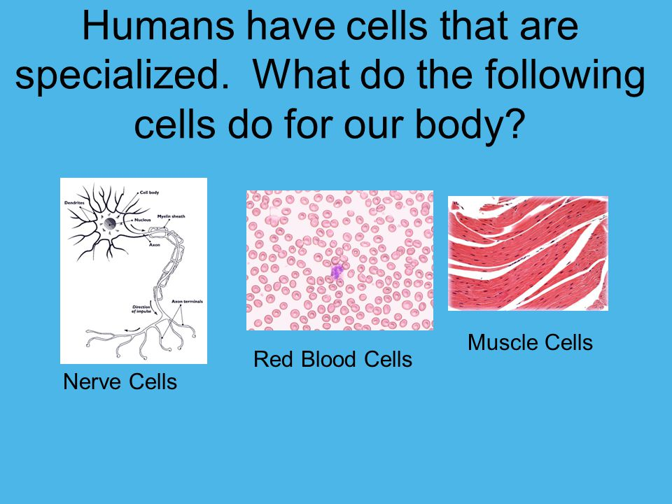 Humans have cells that are specialized
