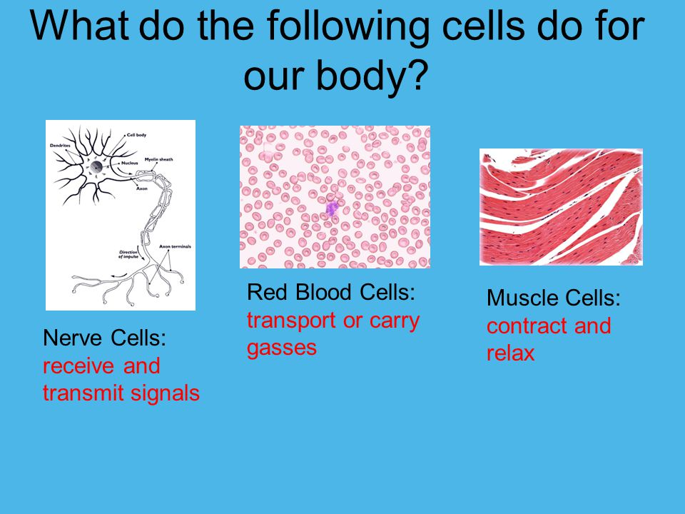 What do the following cells do for our body