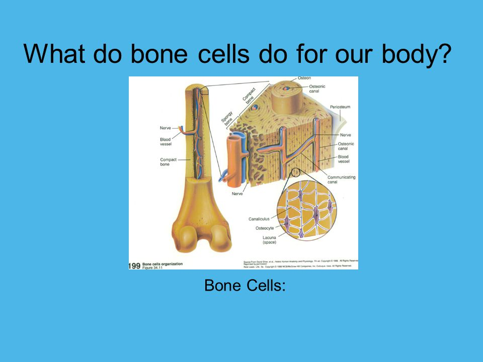 What do bone cells do for our body