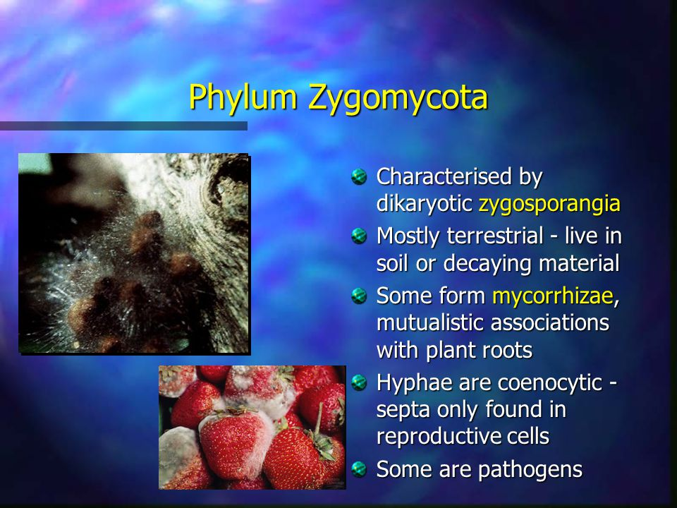 Phylum Zygomycota Characterised by dikaryotic zygosporangia