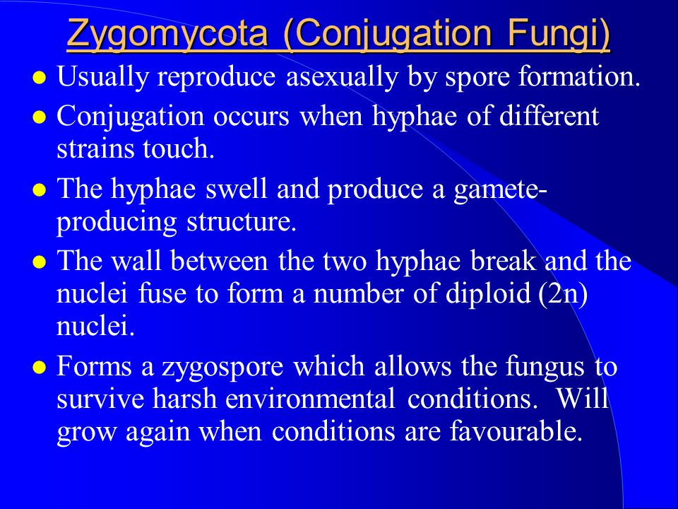 Zygomycota (Conjugation Fungi)