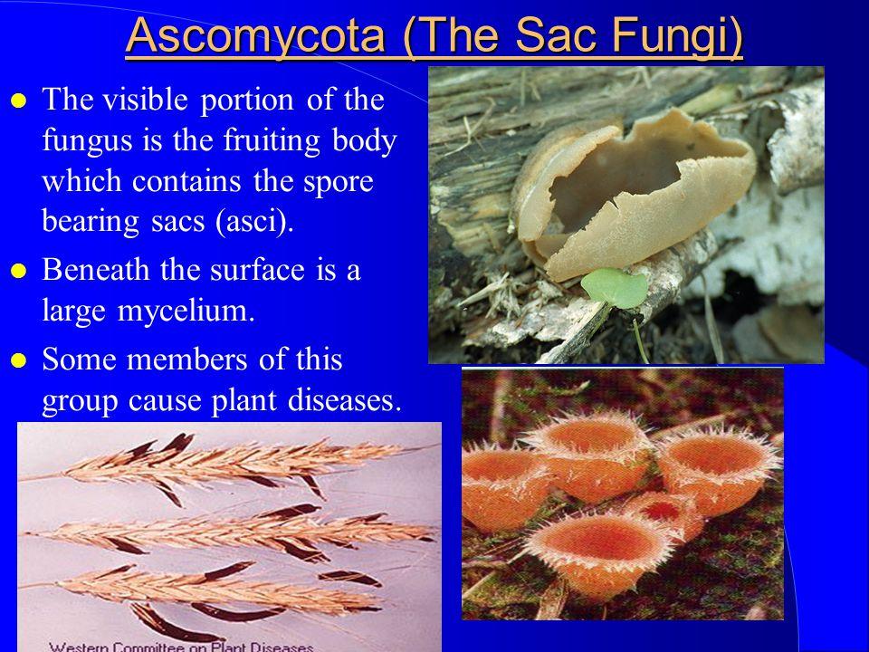 Ascomycota (The Sac Fungi)