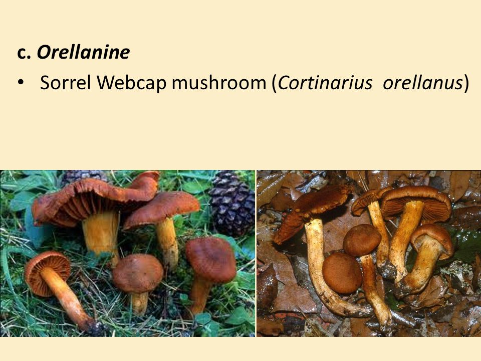c. Orellanine Sorrel Webcap mushroom (Cortinarius orellanus)