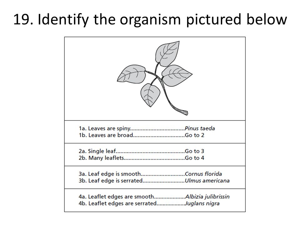 19. Identify the organism pictured below