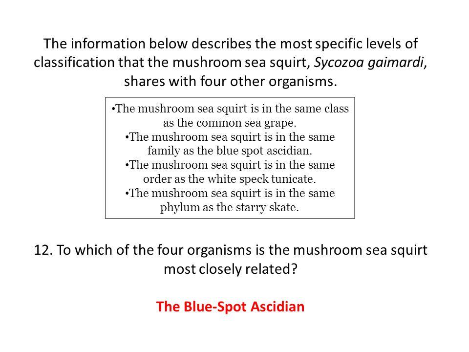 The Blue-Spot Ascidian