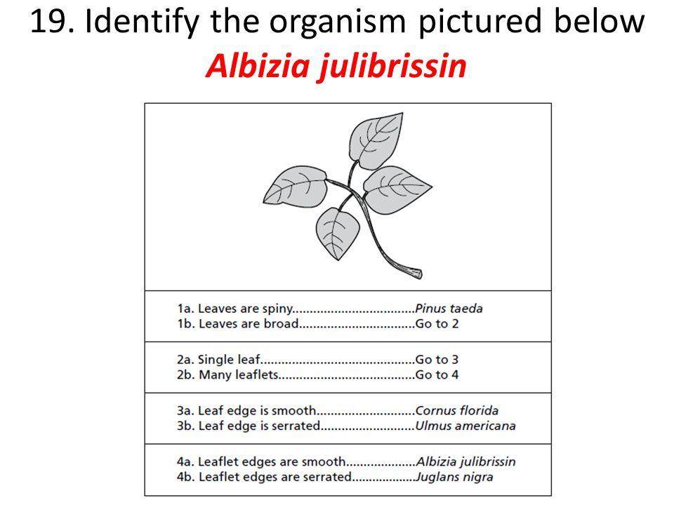 19. Identify the organism pictured below Albizia julibrissin