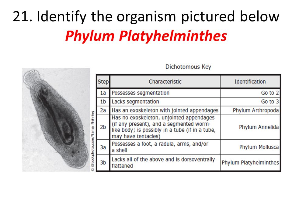 21. Identify the organism pictured below Phylum Platyhelminthes