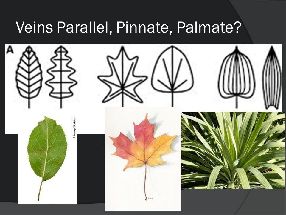 Veins Parallel, Pinnate, Palmate