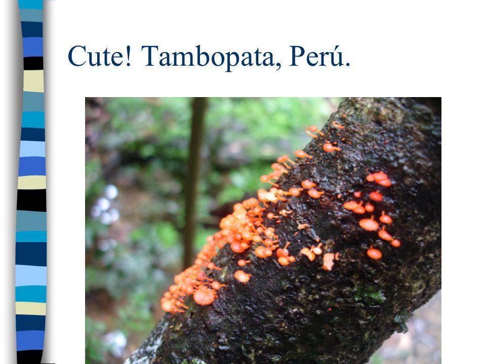 Cute! Tambopata, Perú.